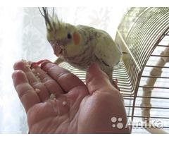 Коррела нимфа птенцы