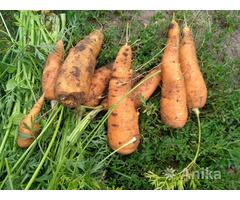 Морковь, морковка