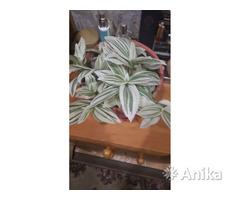 Цветы традисканция, алоэ, дифегбахия, денежное д