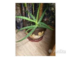 Алоэ (лечебное растение)